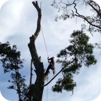 blackwood tree harvesting fsc standards
